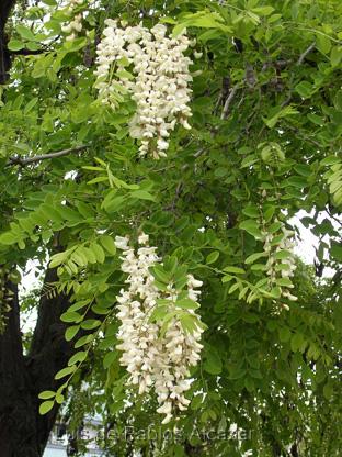 Plantas para zona continental (Guadalajara) Robinia-pseudacacia-6